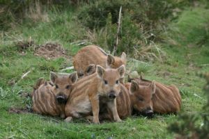boar piglets 4